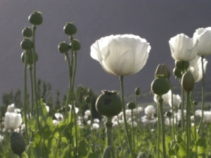 https://iufos.files.wordpress.com/2011/04/poppy-field.jpg?w=300
